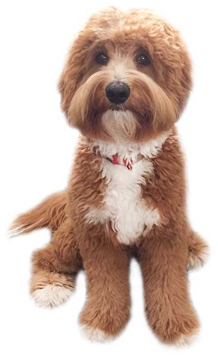 reddish australian labradoodle with white markings in a sitting position after grooming