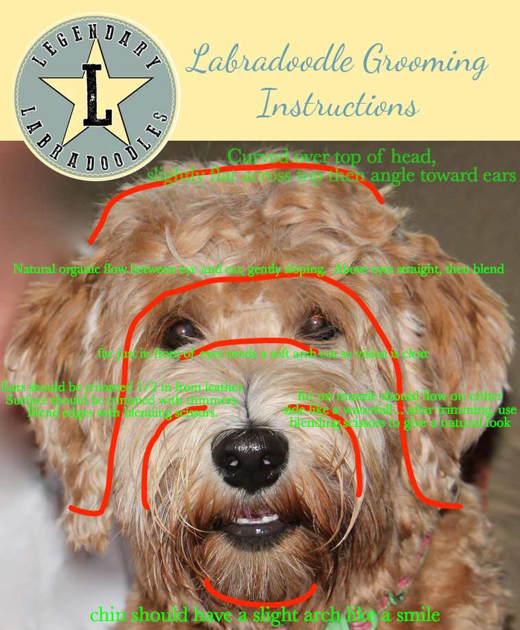 How To Groom An Australian Labradoodle Legendary Labradoodles